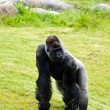 A silverback gorilla in the grass - Stock Photo