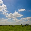 A Dutch landscape with grazing cows — Stock Photo #2447855