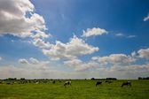 A Dutch landscape with grazing cows — Stock Photo