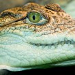 Crocodile`s head — Stock Photo #2534165