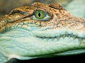 Crocodile`s head — Stock Photo