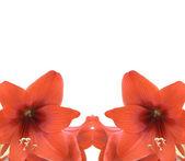 Cadre rouge amarylis — Photo