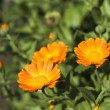 Orange calendula field - Stock Photo