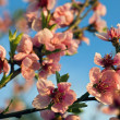 Peach flower — Foto Stock