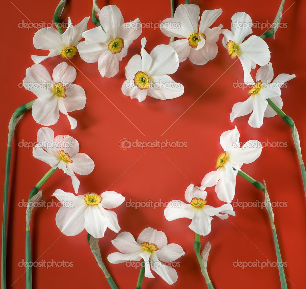 Heart shaped narcis flowers on red background — Stock Photo #2447154