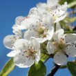 Stock Photo: Pear blossom