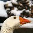 White goose portrait - Stock Photo