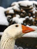 White goose portrait — Stock Photo