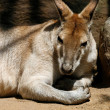 Kangaroo muscules — Stock Photo