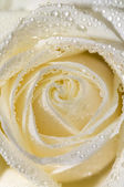 White rose 3 — Stock Photo