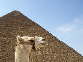 Pyramids and camel — Stock Photo