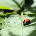 ������, ������: Ladybug Coccinellidae