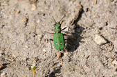 Sand box runner - Cicindela campestris — Stock Photo