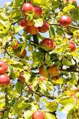 Frutos caídos - macieira — Fotografia Stock