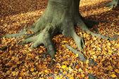 ルート - 秋を葉します。 — ストック写真