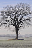 Winter Beech - Fagus sylvatica — Foto de Stock