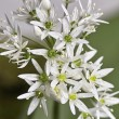 Blossoming wild garlic — Stock Photo