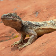 Desert Iguana - Stock Photo