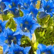 Blue gentians — Stock Photo