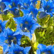 Blue gentians - Stock Photo