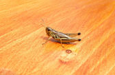 Sitting cicada on a wood — Stock Photo