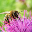 Bee on thorn — Stock Photo