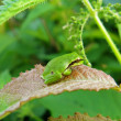 Tree frog — Stock Photo