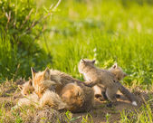 Fox Family — Stock Photo