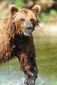 Grinning Grizzly — Stock Photo