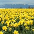 Yellow daffodils — Stock Photo #2382530