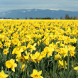Yellow daffodils — Stockfoto #2382530
