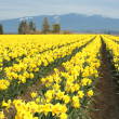 Yellow daffodils - Stockfoto