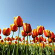 Tulip — Stock Photo #2383033
