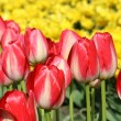 Tulip — Stock Photo #2383039