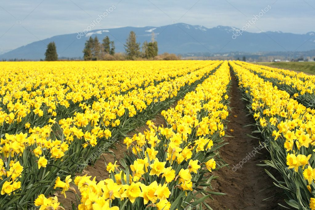 Yellow daffodils field — Stock Photo #2382535