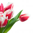 Stock Photo: Spring tulips isolated