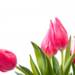 Spring tulips isolated — Stock Photo #2387342