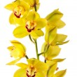 Yellow orchid isolated — Stock Photo #2387702