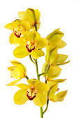 Yellow orchid isolated — Stock Photo