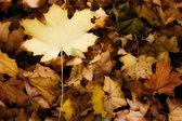 Yellow autumn leaves - fall — Stock Photo