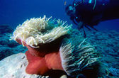 Diver and Anemone — Stock Photo