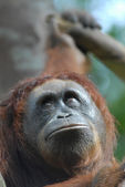 Orang Utan — Stock Photo