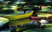 Giant Amazon water lily — Stock Photo