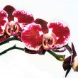 Stock Photo: Branch bud of orchid