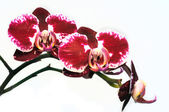 Bourgeon de la branche d'une orchidée — Photo
