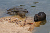 Giant turtle and otter — Stock Photo