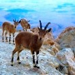 Stock Photo: Mountain nanny goats