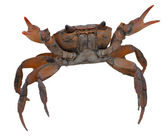 Crab on white background — Stock Photo