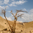 Tree in desert Arava - Stock Photo