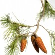 Branch of the pine — Stock Photo
